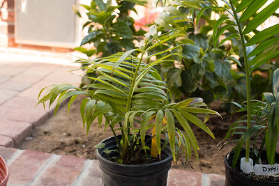 Dypsis pilulifera from Palm Society auction