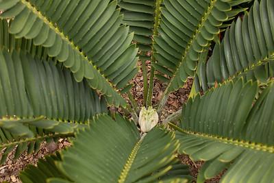 Encephalartos turneri flushing