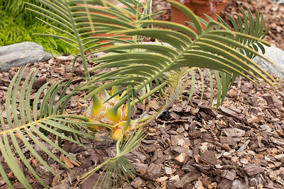 Encephalartos inopinus pups flush