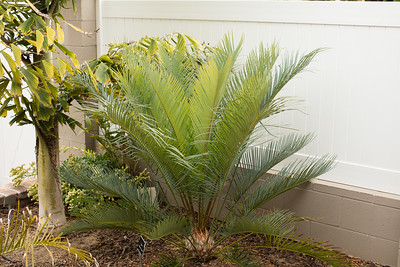 Cycas thouarsii x cupida nears completion of its flush