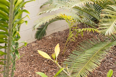 Dypsis lasteliana after planting on 5/29/2017 Memorial Day