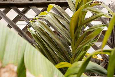 Dypsis lanceolata chocolate color leaf