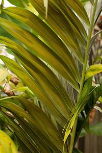 Dypsis lanceolata underside of new leaf opening