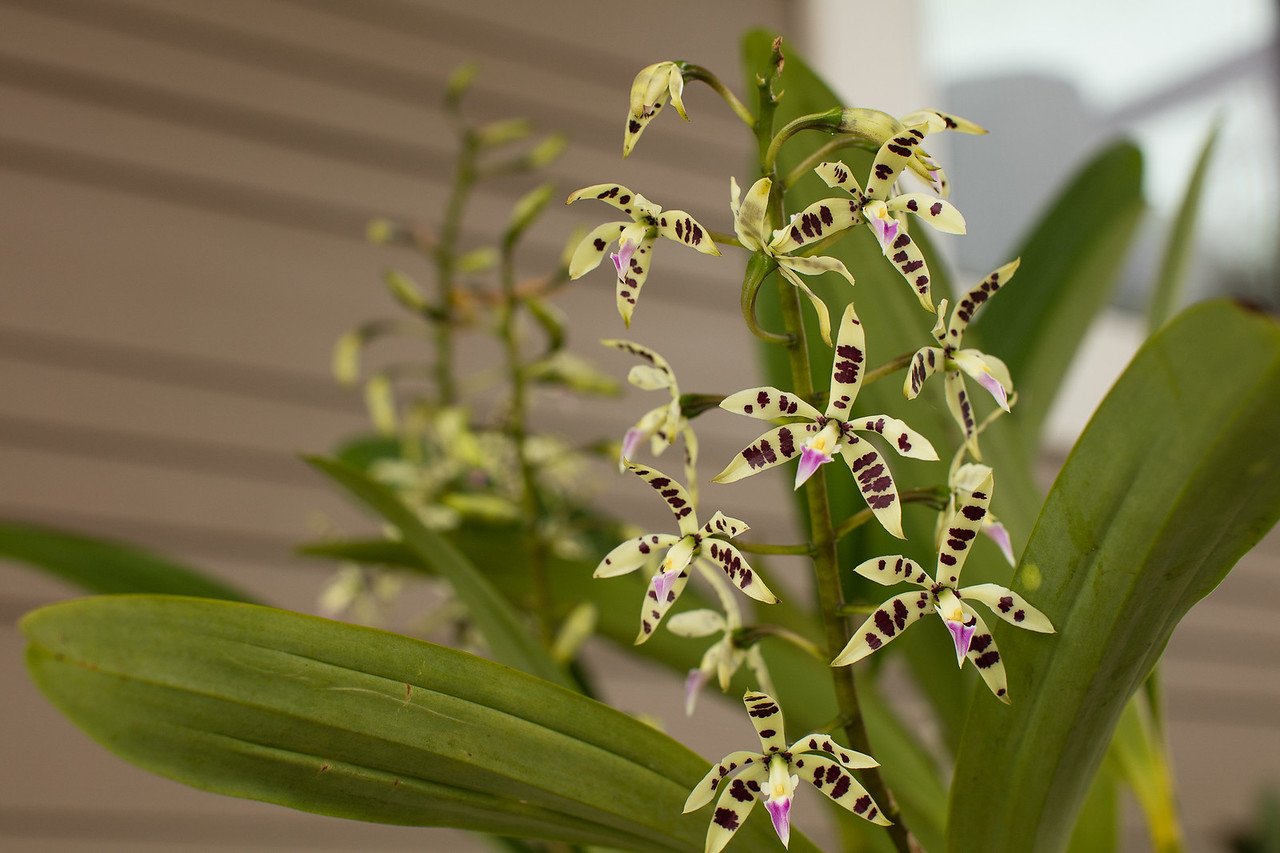 Encyclia orchid blooming