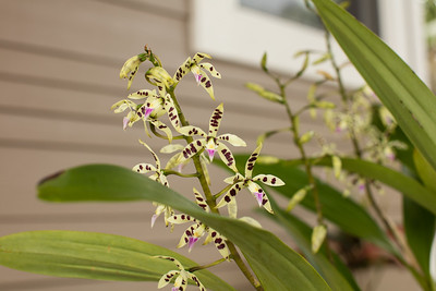 Orchid blossoms on Encyclia