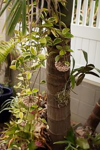 Hoya and orchid dress up an Archontophoenix trunk
