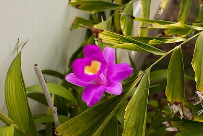 Sobralia macrantha orchid blossom