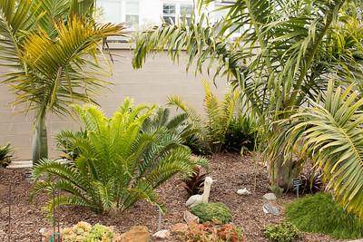Encephalartos horridus x woodii flushing with Kentiopsis oliviformis and Dypsis prestoniana palms