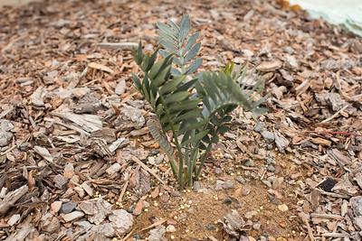 Encephalartos hybrid (blue form arenarius x latifrons) flushing