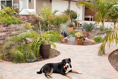 Meinen Schweizer Sennenhund in the garden