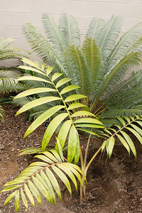 Chambeyronia hookeri with Cycas thouarsii flushing behind