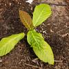 Lowland form of Ficus dammaropsis