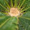 Encephalartos natalensis x horridus cone (north of 2 plants)