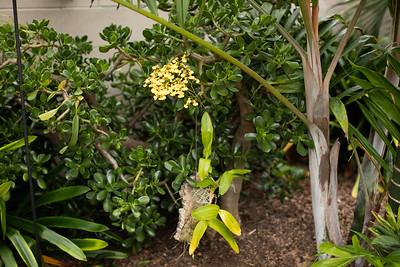 Oncidium flexuosum orchid blooming