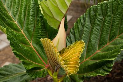 Colorful Ficus dammaropsis new leaf