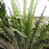 Encephalartos laurentianus summer flush
