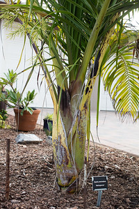 Dypsis prestoniana trunk with first inflorescence