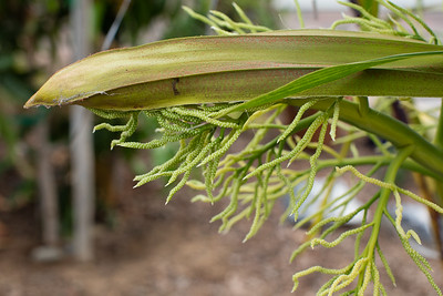 Inflorescence of Dypsis prestoniana the morning spathe opens