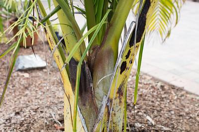 Dypsis prestoniana trunk