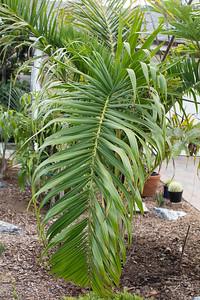 Dypsis prestoniana leaf