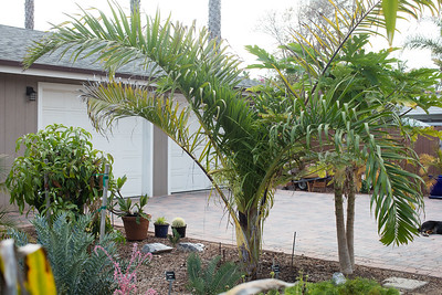 Dypsis prestoniana with it's first inflorescence opening