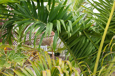 Leaves and leaflets of Dypsis prestoniana