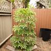 Cusonnia spicata tree 4/18/2017