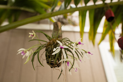 Leptotes bicolor blooming