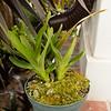 Angraecum sororium orchid