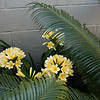 Clivia blooming
