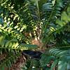 Encephalartos arenarius x woodii