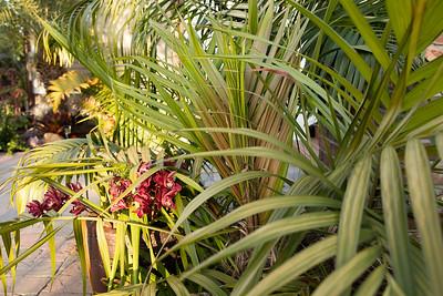 Dypsis crinita and Cymbidium orchid blossoms