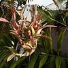Encyclia hanburii orchid