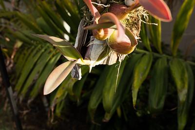 Encyclia hanburyii showing emerging inflorescens