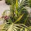 Dypsis crinita with Cymbidium orchids to left and Dendrobium speciosum ssp curvicaule to the right blooming