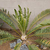 Encephalartos whitlockii x sclavoi in winter flush of 10 new leaves