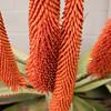 Aloe ferox blossoms