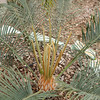 Cycas thouarsii x cupida early in a flush of new leaves