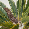 Wilting cone on Encephalartos longifolius