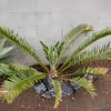 Encephalartos whitlockii x sclavoi hybrid cycad