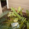 Epiphyte crawling up Dypsis plumosa