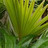 Pritchardia flynii
