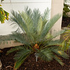Cycas thouarsii x cupida after winter rainfall