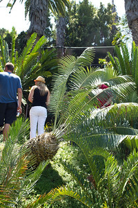 20110723-IMG_6438 Encephalartos Inopinus slightly tipped over with various other cycads adjacent and in the background
