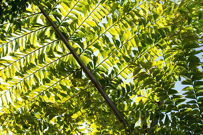 20121103-IMG_1329 Caryota Gigas Palm from below.  A giant bi-pinnate fish tail palm