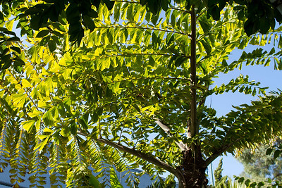 20121103-IMG_1331 Caryota Gigas Palm from below.  A giant bi-pinnate fish tail palm