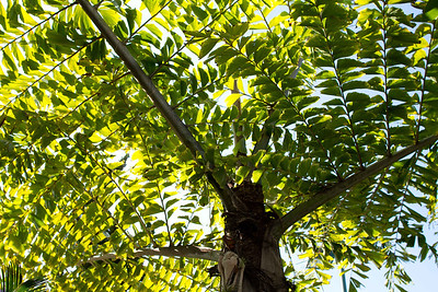 20121103-IMG_1330 Caryota Gigas Palm from below.  A giant bi-pinnate fish tail palm