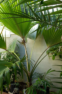20121103-IMG_1354 Pritchardia species fan palm