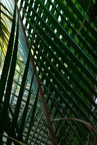 20121011-IMG_0287 Shaving brush palm (Rhopolostylis Sapida)
