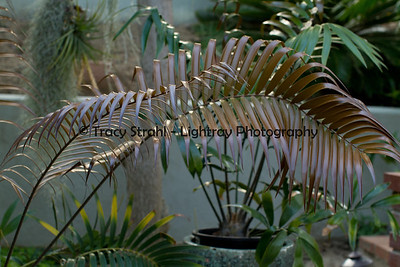 "20120509-IMG_7776 New bronze and copper leaves on a Ceratozamia Mexicana.  If you don't get the autumn colors, you look for the ""spring colors"" of the tropics."